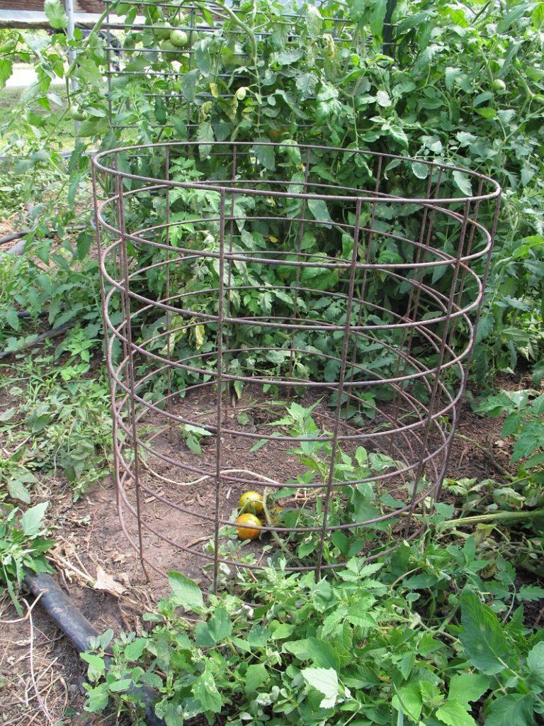 Large tomato cage for trellising tomatoe